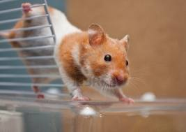 Escaping hamster